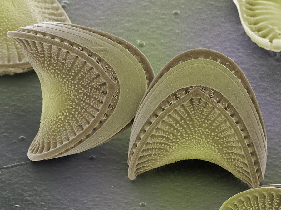 Diatom Photograph - Diatoms, Sem by Power And Syred
