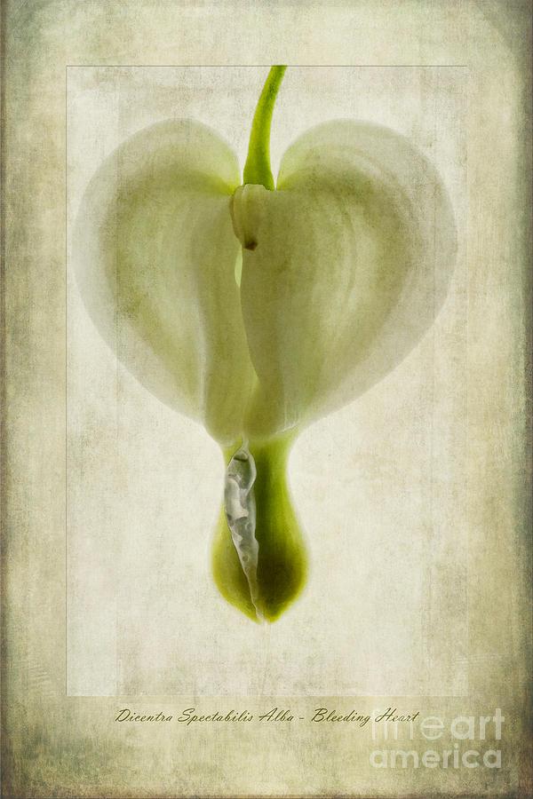 Bleeding Heart Flower Photograph - Dicentra Spectabilis Alba by John Edwards