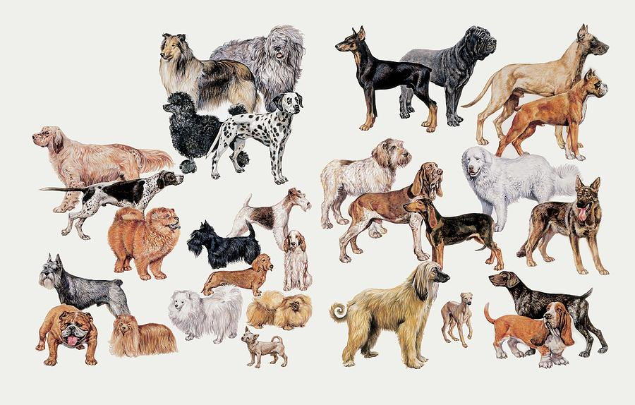 Breed Photograph - Different Breeds Of Dogs by Deagostini/uig/science Photo Library