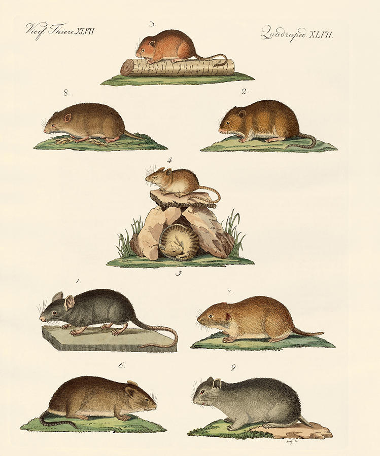 House Mouse Drawing - Different Kinds Of Mice by Splendid Art Prints