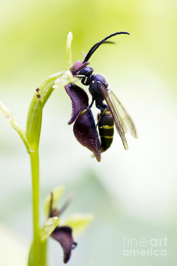digger wasp and fly orchid photograph by tim gainey