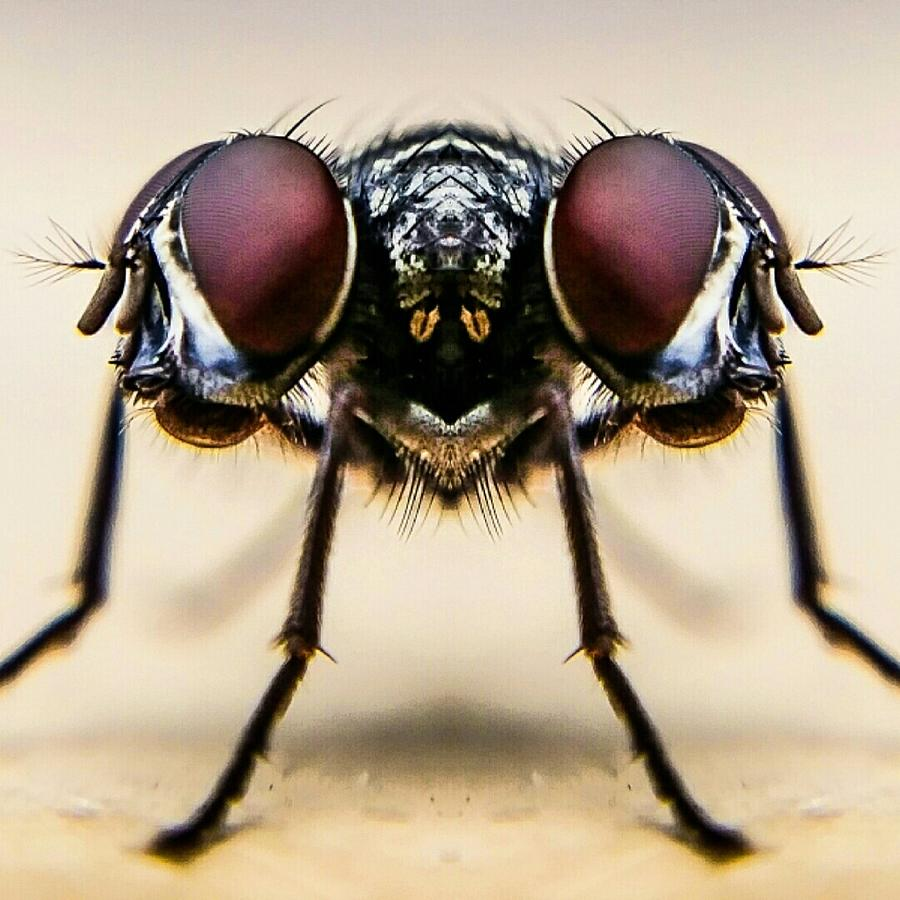 Digital Composite Image Of Housefly Photograph by Chris Raven / Eyeem