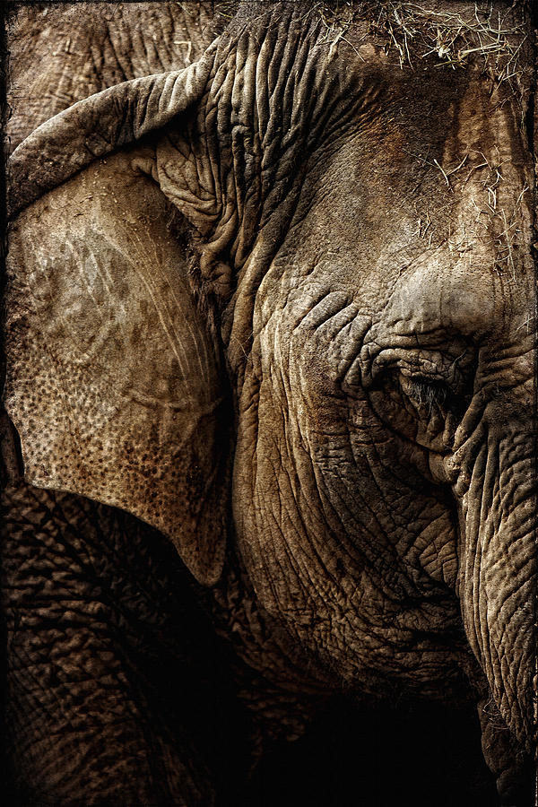 Elephant Photograph - Dignity Of Age In Asian Elephant Study by Lincoln Rogers