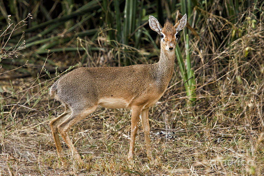 Africa Photograph - Dik-dik by Timothy Hacker