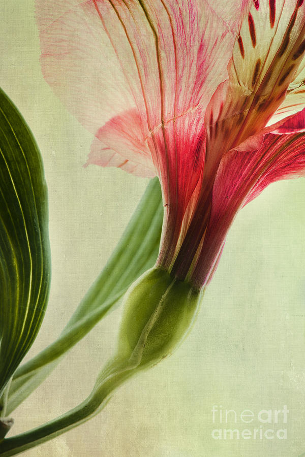 Peruvian Lily Photograph - Dim Colours by Priska Wettstein