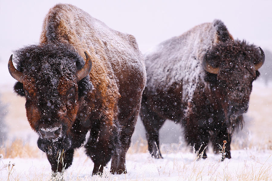 Buffalo Photograph - Dimensions  by Kadek Susanto