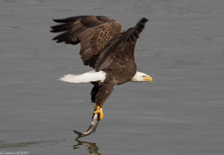 American Bald Eagles Photograph - Dinner Is Serverd  by Glenn Lawrence