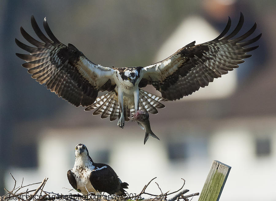 Ospreys Photograph - Dinner Is Severed  by Glenn Lawrence