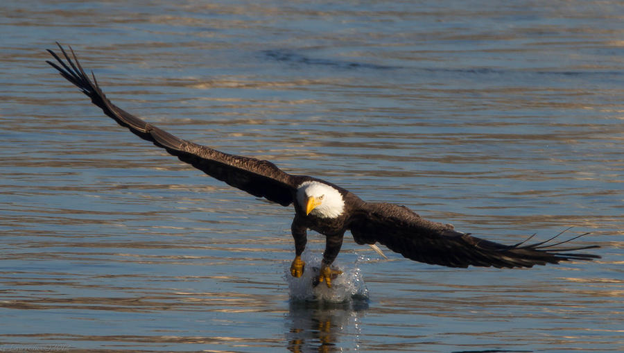 American Bald Eagles Photograph - Dinner On The Wing  by Glenn Lawrence