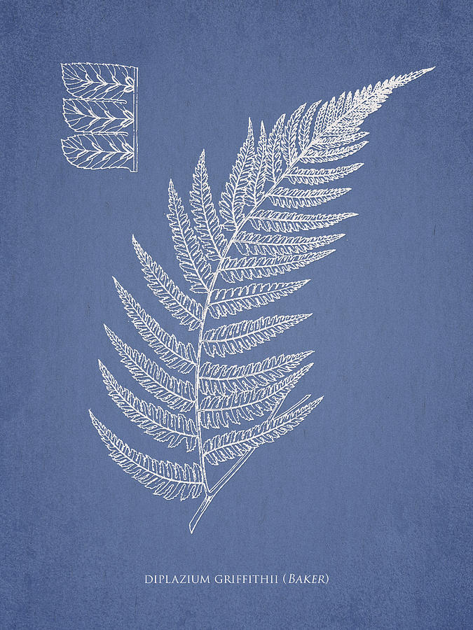 Fern Drawing - Diplazium Griffithii by Aged Pixel