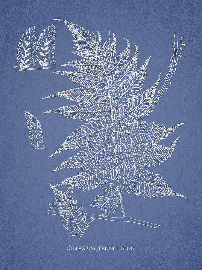 Fern Drawing - Diplazium Jerdoni by Aged Pixel
