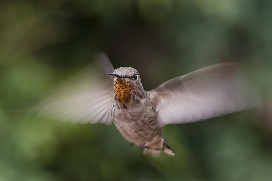 Annas Hummingbird Photograph - Dirty Chin by Mike Herdering