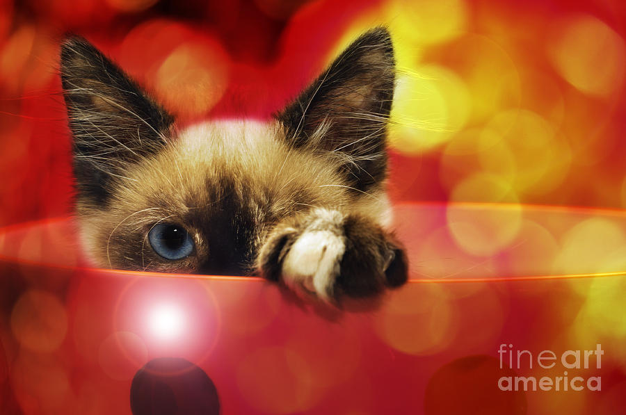 Seal Point Siamese Photograph - Disco Kitty 1 by Andee Design