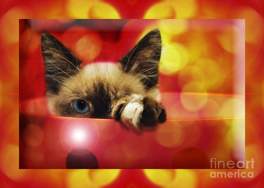 Seal Point Siamese Photograph - Disco Kitty 2 by Andee Design
