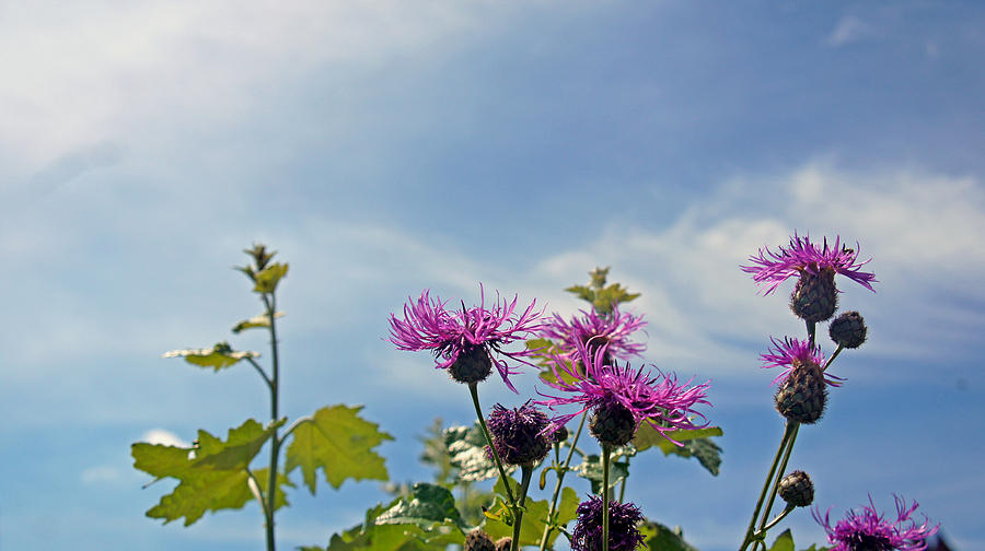 Flowers Photograph - Distel by Kees Colijn