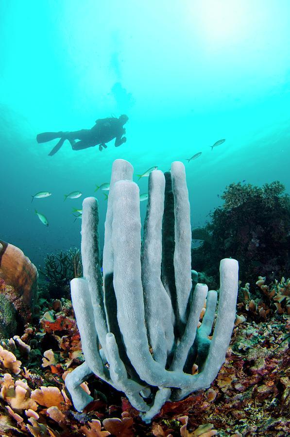 Borneo Photograph - Diver Swimming Over A Tube Sponge by Scubazoo