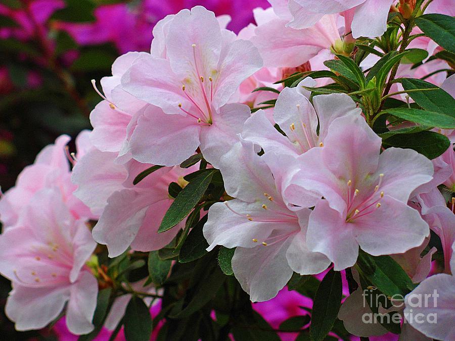 Azalea Photograph - Divine Pink Azalea by Halyna  Yarova
