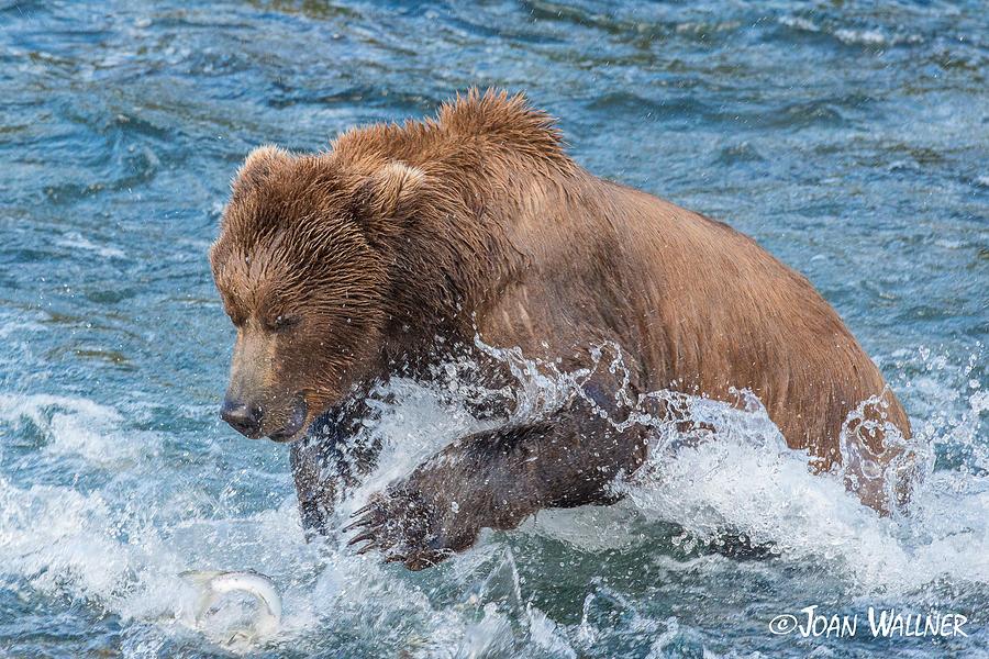 Alaska Photograph - Diving for Salmon by Joan Wallner