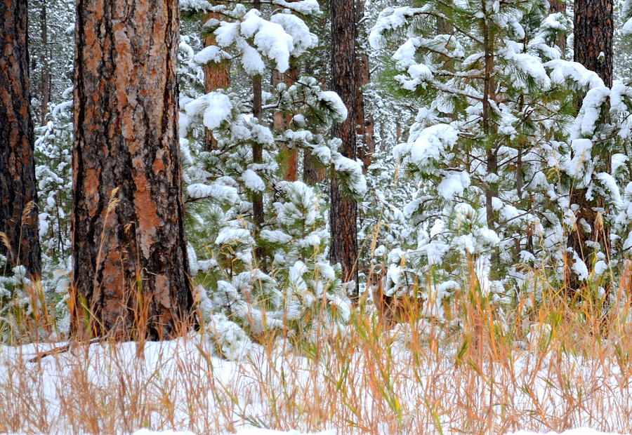 Pine Trees Photograph - Do You See Me by Clarice  Lakota