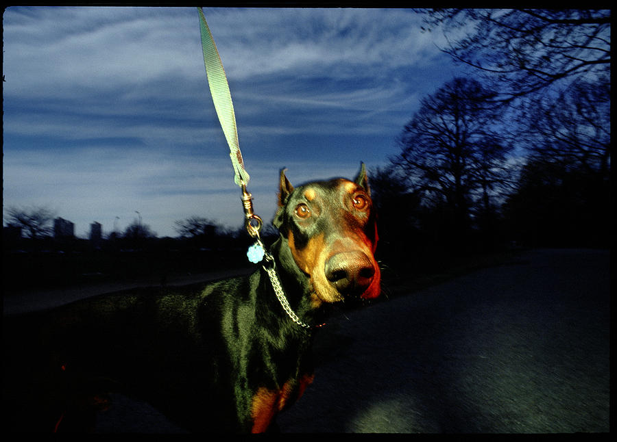 Animals Photograph - Doberman by Chip Simons