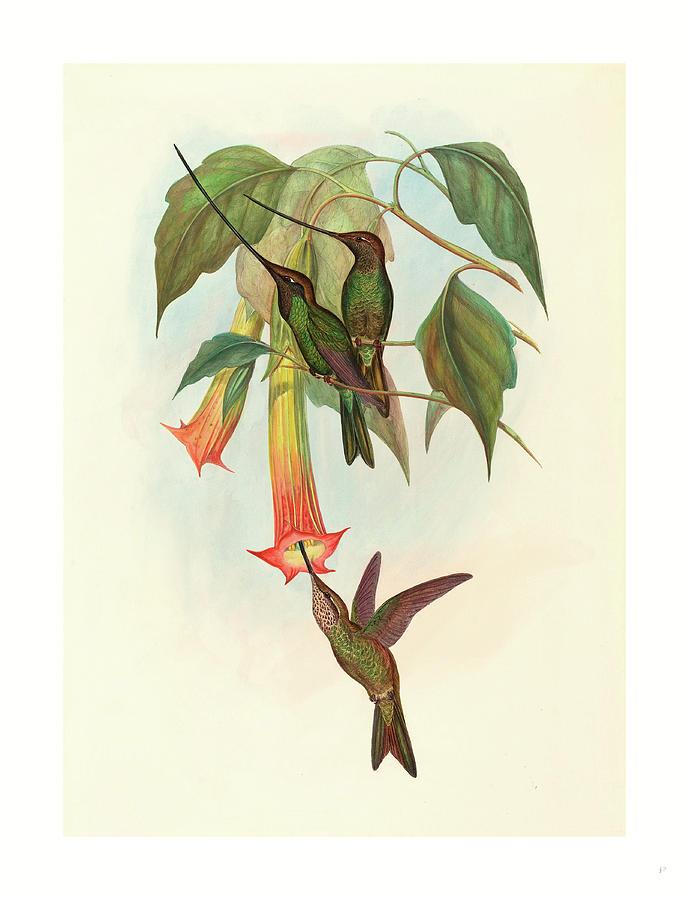 John Gould Drawing - Docimastes Ensiferus Sword-billed Hummingbird by John Gould (1804-1881) And Henry Constantine Richter (1821?1902), English