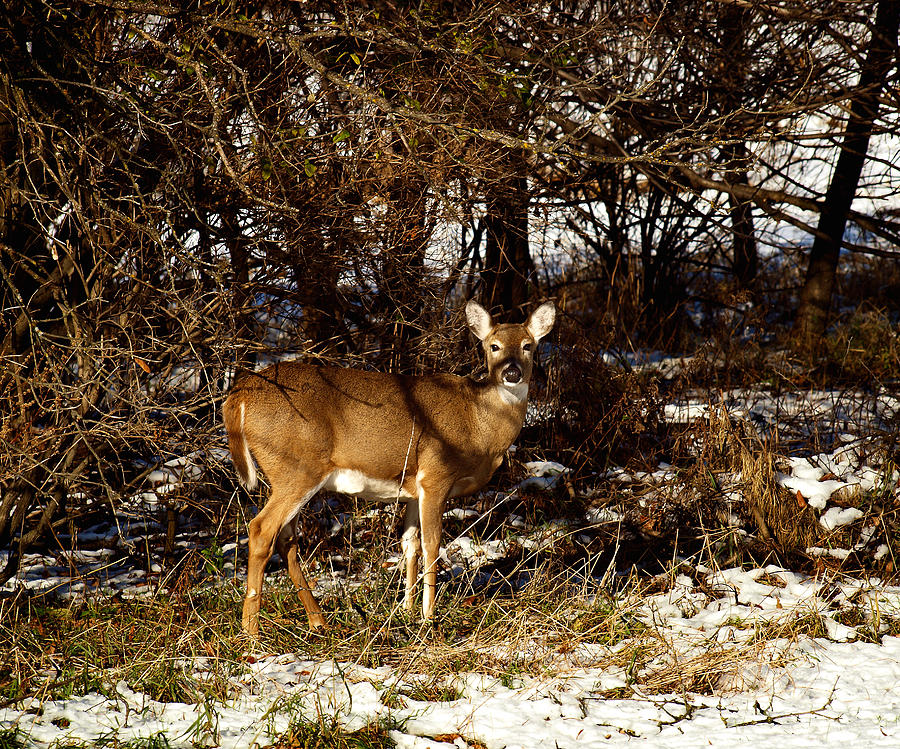 Whitetail Deer Photograph - Doe From The Tangle by Thomas Young