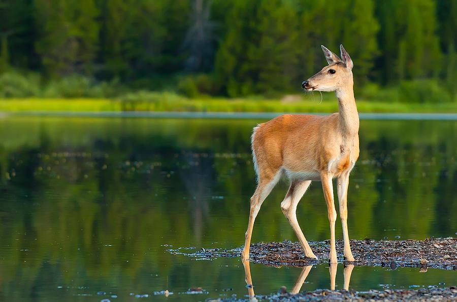 Animal Photograph - Doe by Sebastian Musial