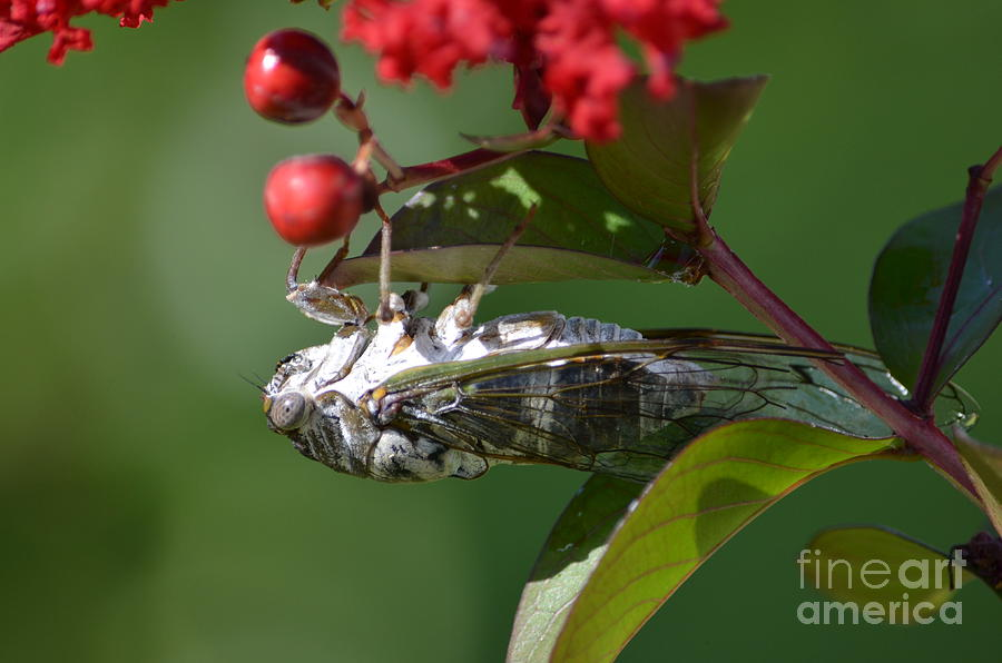 Cicada Photograph - Dog Day Cicada by Kathy Gibbons