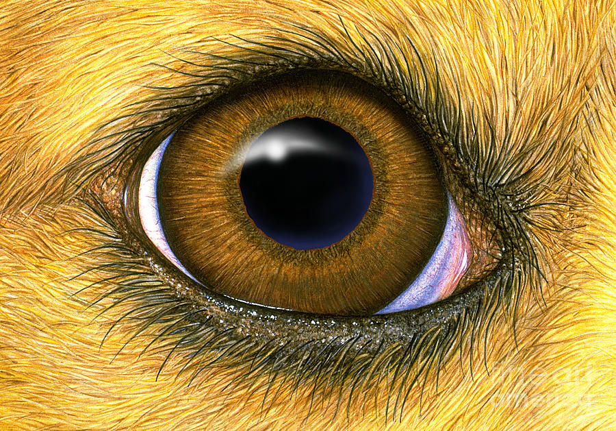 Dog Eye Photograph by Laurie OKeefe
