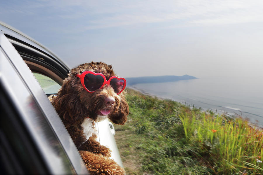 Dog Leaning Out Of Car Window On Coast Photograph by Peter Cade