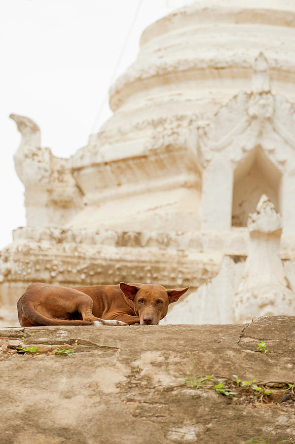 Dog Lying By Stupa, Bagan, Myanmar Photograph by Cultura Exclusive/yellowdog