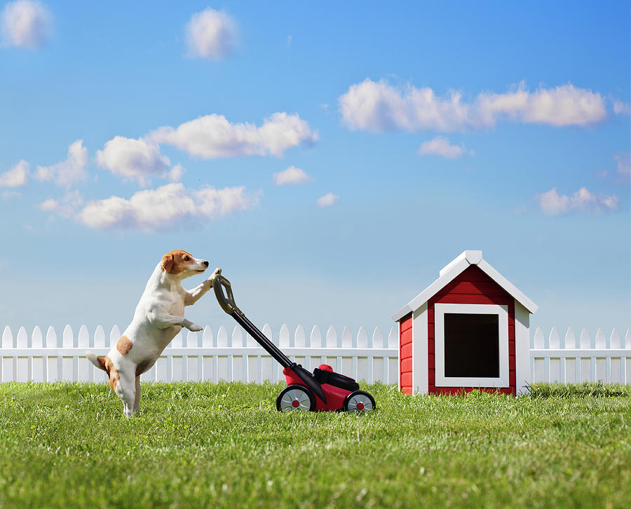 Dog Mowing Lawn Near Dog House Photograph by Pm Images