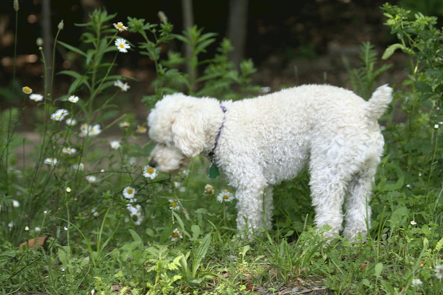 White Photograph - Dog Smelling Daisies by Carolyn Reinhart