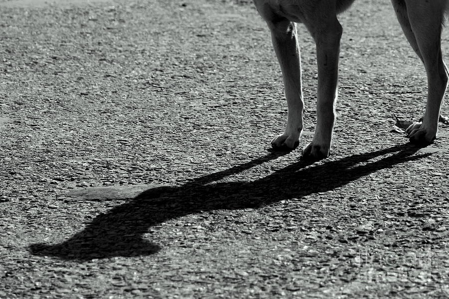 Shadow Photograph - Dogs Company by Vishakha Bhagat