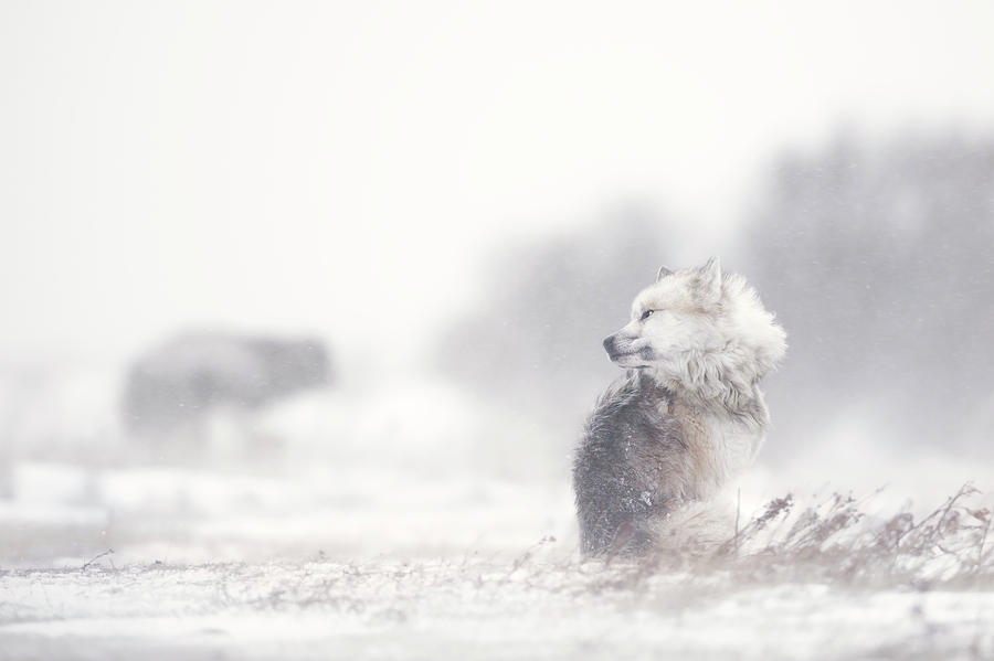 Canada Photograph - Dogs In The Storm by Marco Pozzi