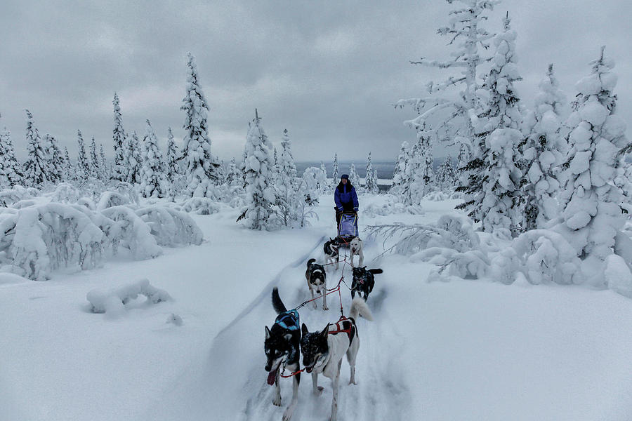 Working Animals Photograph - Dogsledding Through The Forest by Johnathan Ampersand Esper