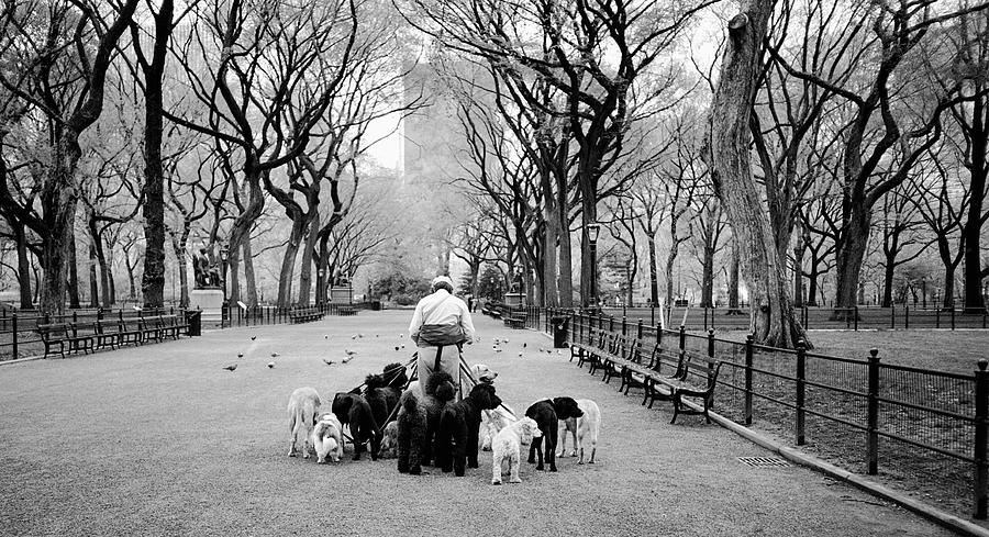 Dogs Photograph - Dogwalker On The Mall by Cornelis Verwaal
