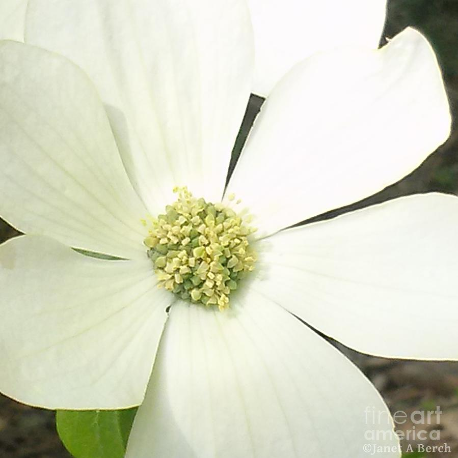 Dogwood Photograph - Dogwood 1 by Janet Berch