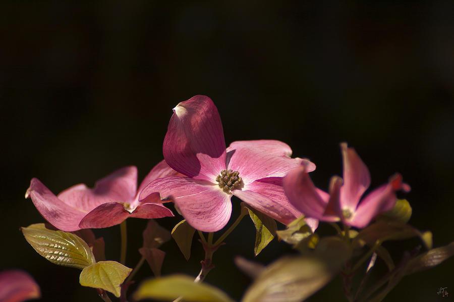 Nature Photograph - Dogwood At Noon by Jim Tobin