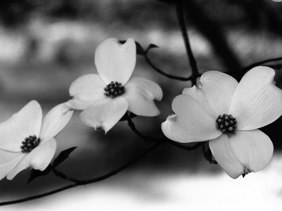 Dogwood Photograph - Dogwood Black And White by Andrea Anderegg