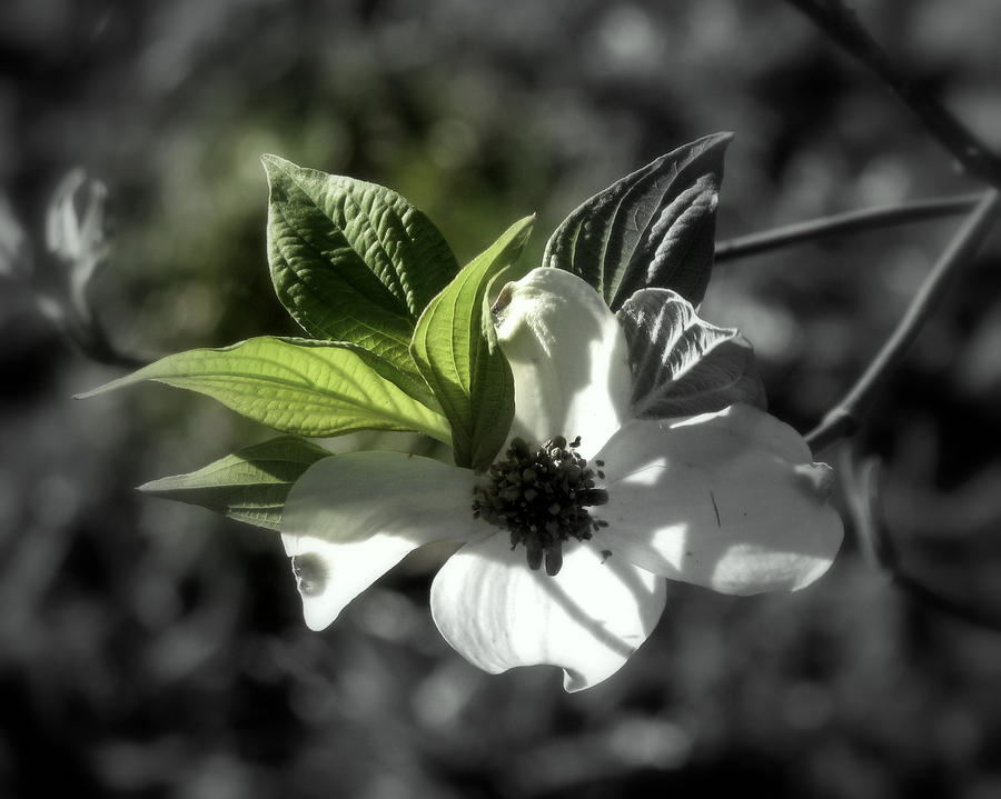 Dogwood Blossom by Peg Urban