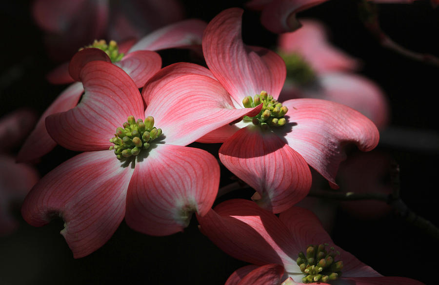 Dogwood Photograph - Dogwood Blossoms by Donna Kennedy