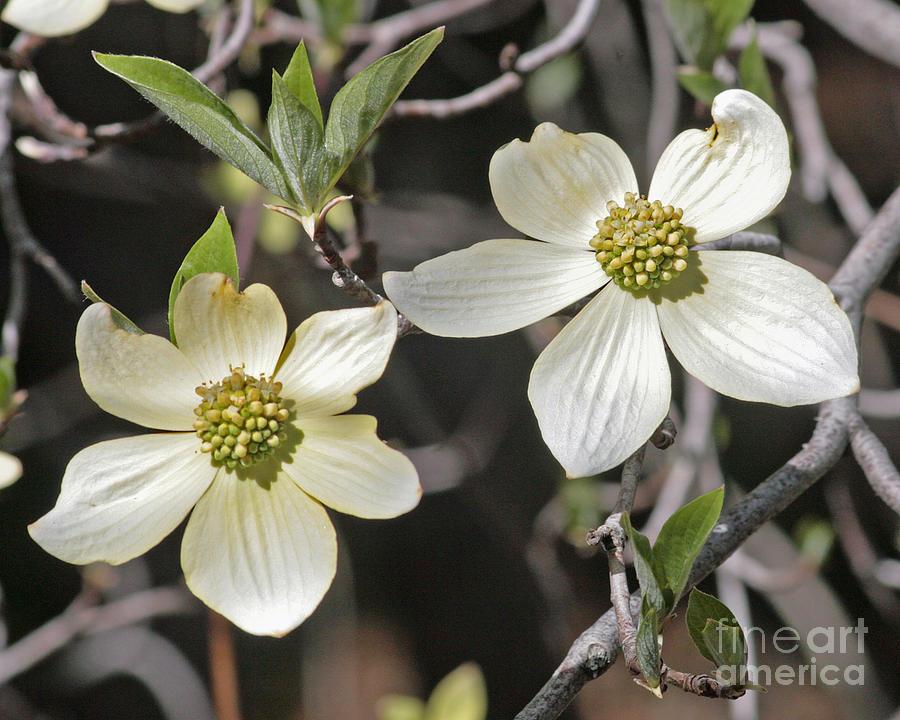 Dogwood Blossoms Photograph by Kenny Bosak
