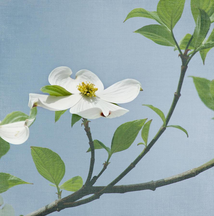 Dogwood Flower Photograph - Dogwood Blossoms by Kim Hojnacki