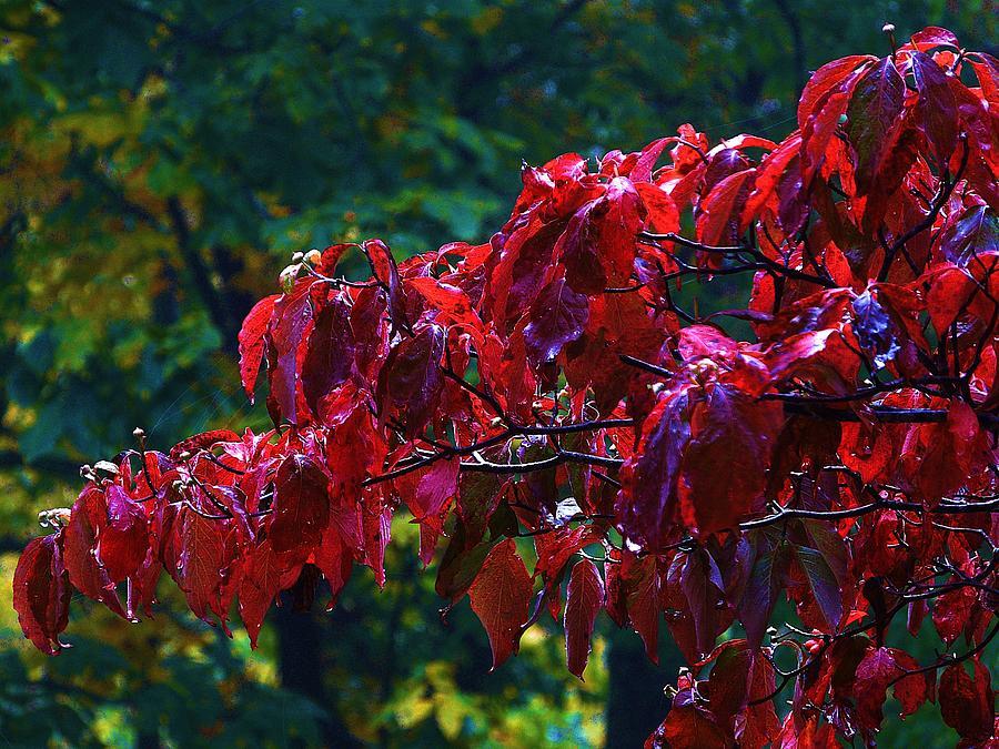 Dogwood Photograph - Dogwood Branch In Autumn by Bill Shuman