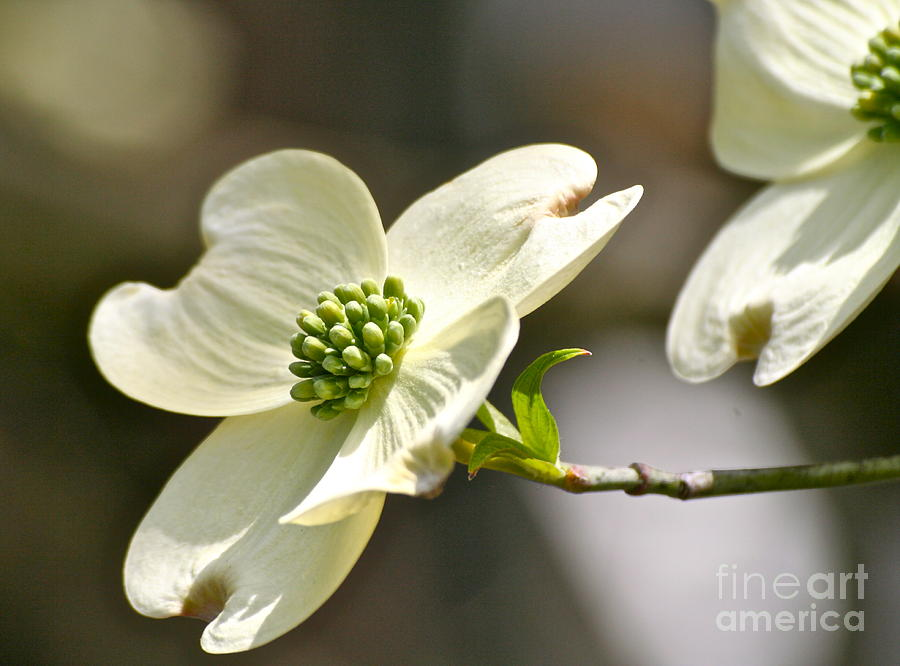 Dogwood Tree Photograph - Dogwood Delight by Eve Spring