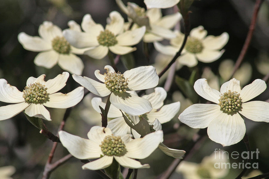 Dogwood Flowers Photograph by Kenny Bosak
