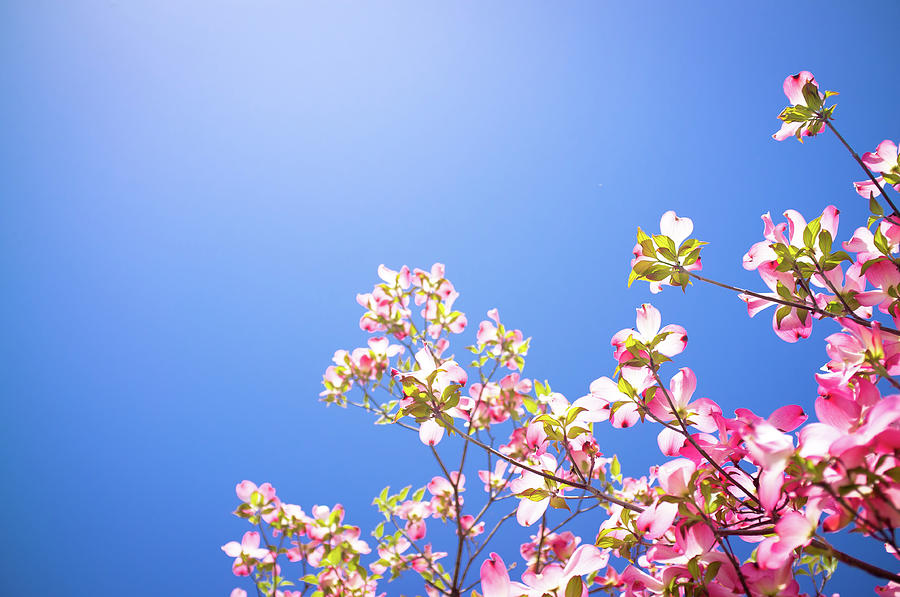 Dogwood Flowers Photograph by Marser