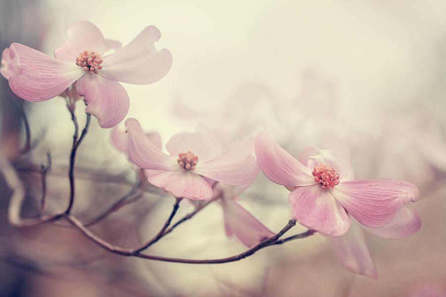 Flowers Photograph - Dogwood by Magda Bognar