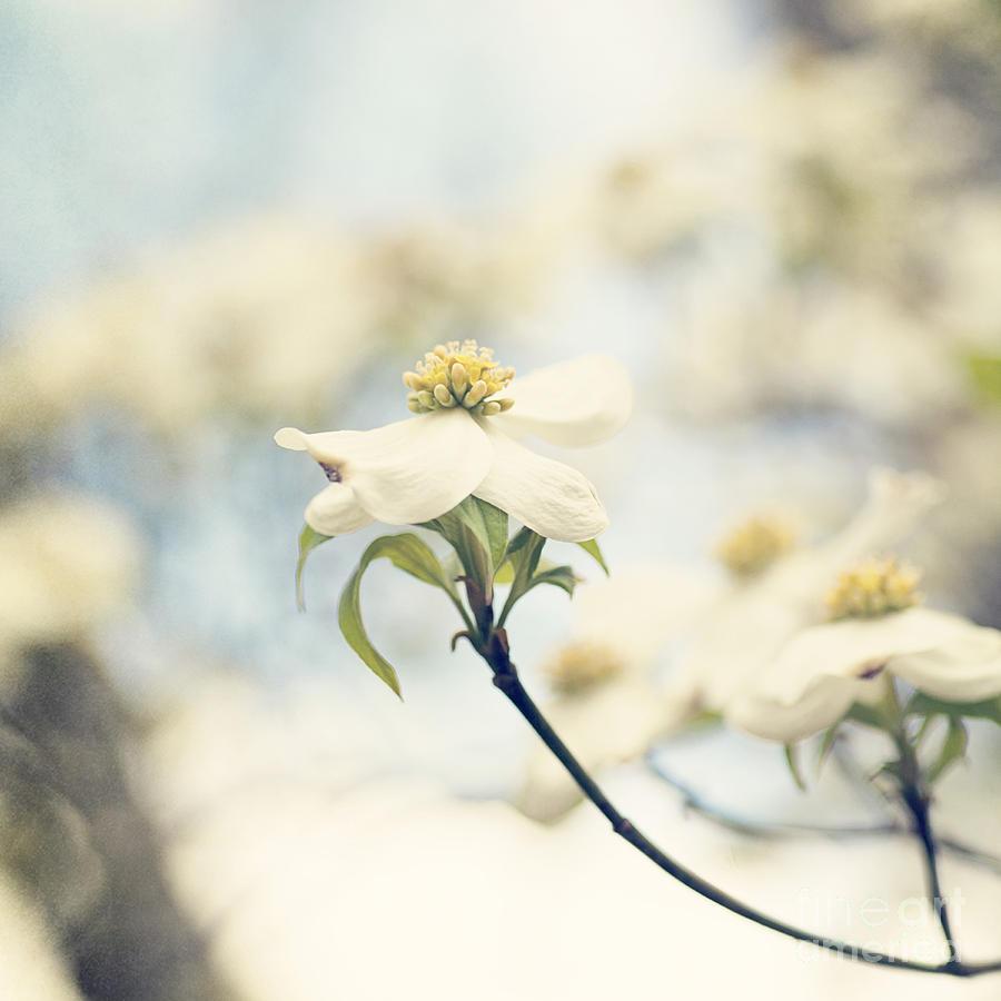 White Photograph - Dogwood No 1 by Erin Johnson